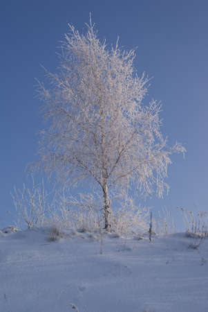 frostily: young birch on hill in winter scenery