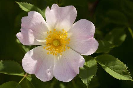developed: brezo rosa desarrollados se levant� con la hoja verde