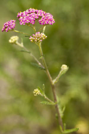 pink inflorescence herb(Achillea millefolium)on green background photo