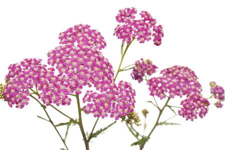 pink inflorescence herb (Achillea millefolium) on white background Stock Photo - 12120589