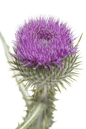 purple,single prickly thistle on white background photo