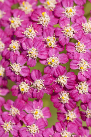 pink inflorescence herb(Achillea millefolium)as background photo
