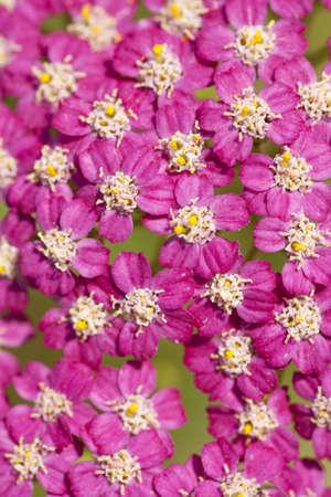 pink inflorescence herb(Achillea millefolium)as background Stock Photo - 12358174