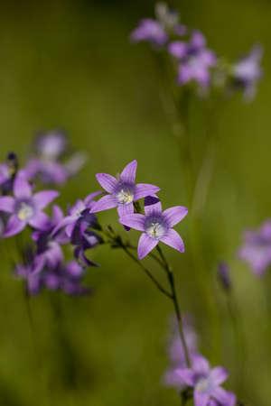 patula: purple flower harebell (Campanula patula) on meadow