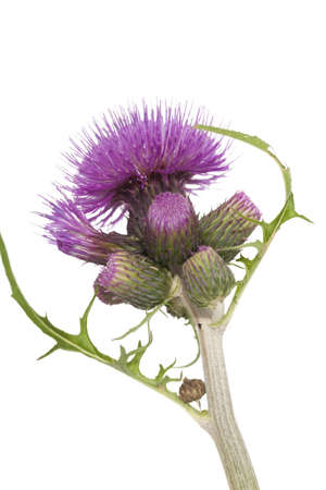 purple prickly flower thistle on white background photo