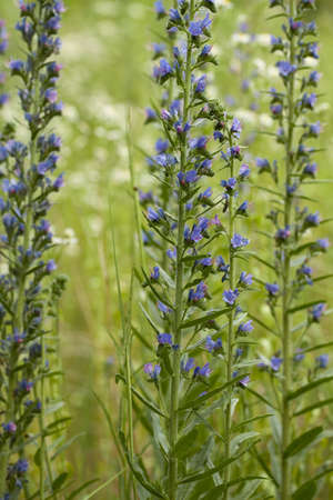 vulgare: purple flower (Echium vulgare) on green meadow Stock Photo