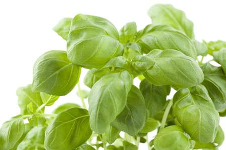 bush of fresh basil on white background photo