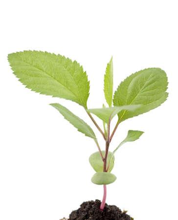 young seedling tree fruit on white background Stock Photo