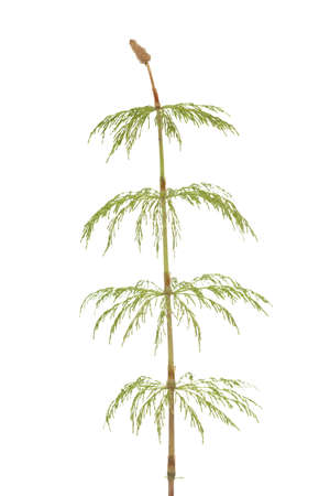 equisetum: plant of horsetail (Equisetum pratense) on  white