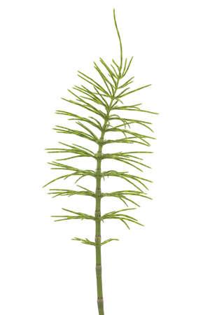 equisetum:  plant of horsetail (Equisetum arvense) on  white
