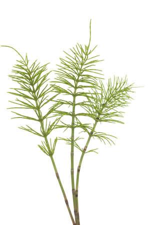 three plant of horsetail (Equisetum arvense) on  white