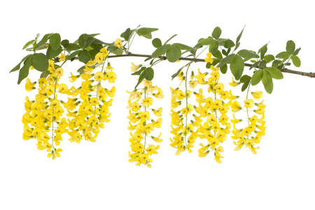 branch of yellow flower Laburnum on white background Stock Photo