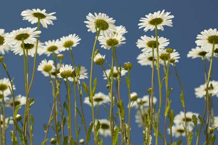 vulgare: white marguerite (Leucanthemum vulgare) on blue sky