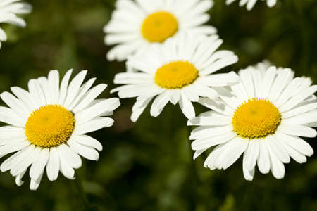 vulgare: white big marguerite (Leucanthemum vulgare) as background Stock Photo