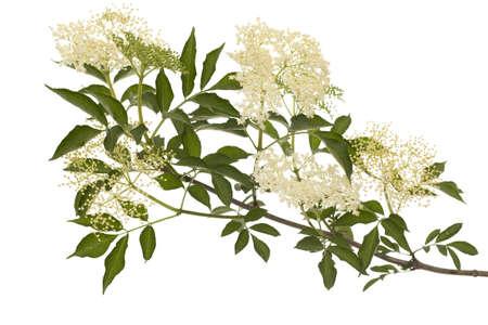 Zweig schwarz lila (Sambucus nigra) auf weißem Hintergrund