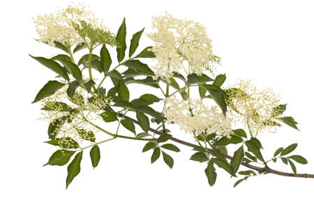 branch black lilac (Sambucus nigra) on white background Stock Photo