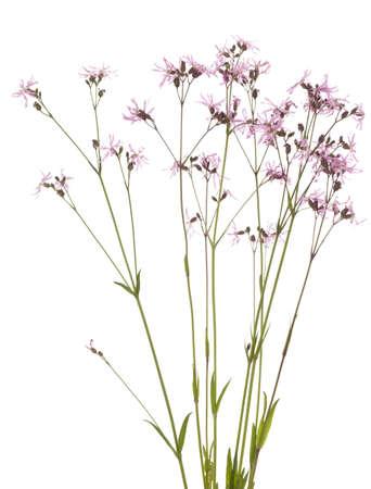 ragged robin: purple flower Lychnis flos-cuculi on white background Stock Photo