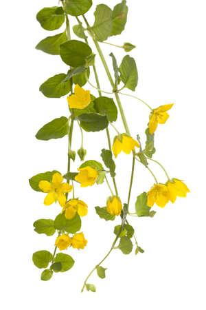 yellow flower (Lysimachia nummularia) on white background Stock Photo