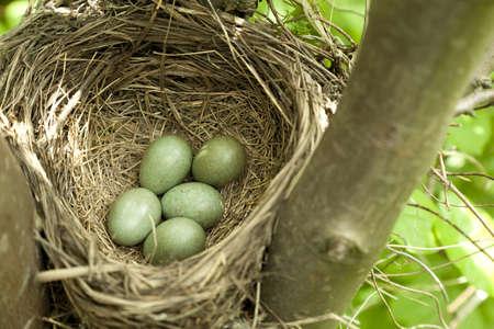 nido de pájaros con huevos en el árbol