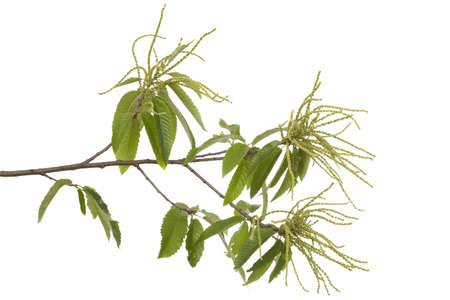 castanea sativa: branch of chestnut (Castanea sativa Mill) on white