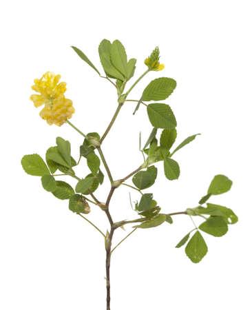 trifolium: yellow little clover (Trifolium campestre Schreb)  on white Stock Photo