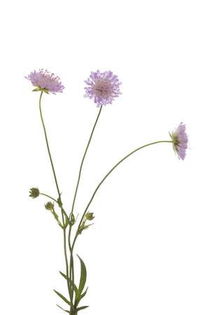 arvensis: purple flower (Knautia arvensis) on white background