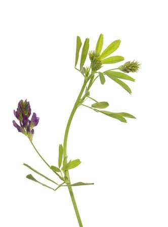 single flower lucerne (Medicago sativa) on white background Stock Photo