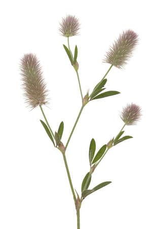 flower clover(Trifolium arvense) on white background Stock Photo - 14244812