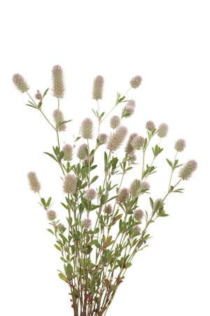 bunch clover(Trifolium arvense) on white background Stock Photo - 14244830