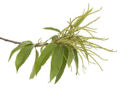 branch of chestnut (Castanea sativa Mill) on white