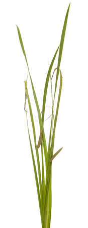 green leaf calamus with inflorescence on white background Stock Photo