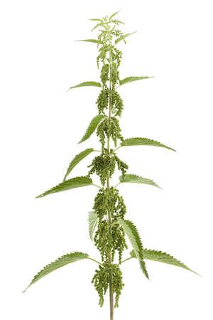urtica: Fresh green nettle (Urtica urens) on white