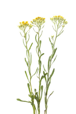 yellow flower (Helichrysum arenarium) on white background Stock Photo