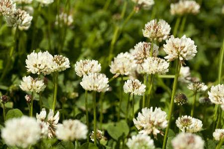 white flower clover on green background  leaf Stock Photo - 15498357