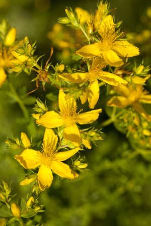 bush of yellow herb St -Johns -worts Stock Photo