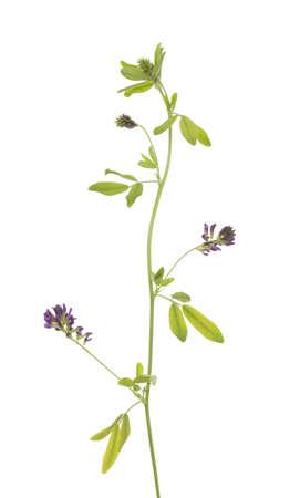fiore di erba medica (Medicago sativa), su sfondo bianco