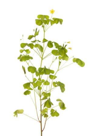 little yellow sorrel (Oxalis stricta) on white background Stock Photo - 15498352
