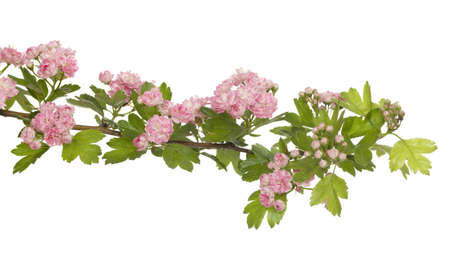 laevigata: hawthorn tree with red flowers on branch
