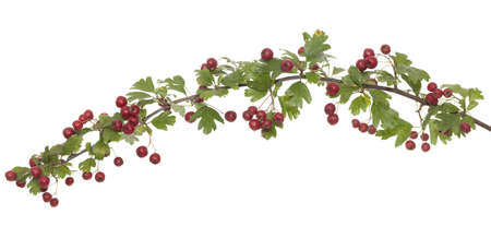 laevigata: hawthorn branch with fruits on white background