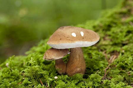 two poisonous boletus grow on moss