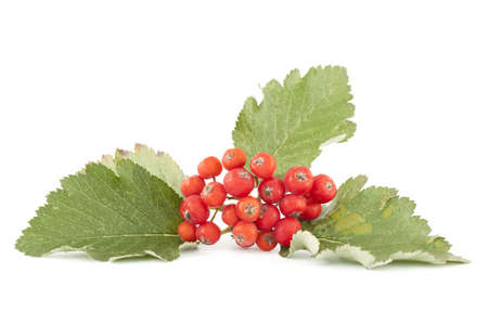 cluster red sorb with leaf on white background Stock Photo