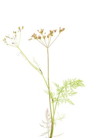 fresh plant of unripe cumin on white background