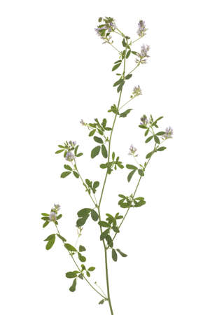 sativa: flower lucerne (Medicago sativa) on white background