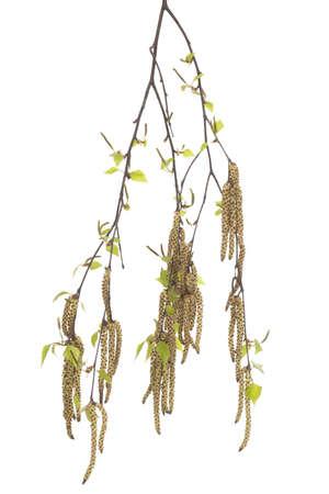 betula pendula: branch birch with catkin on white background Stock Photo