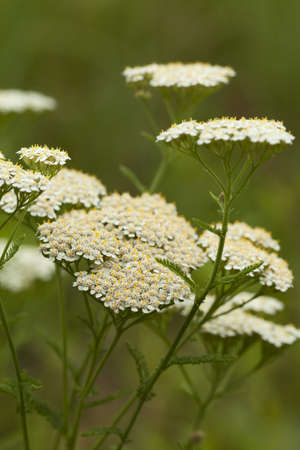 white herb achillea millefolium on white background photo