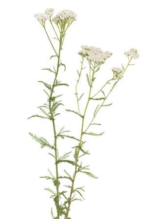 millefolium: white herb achillea millefolium on white background Stock Photo