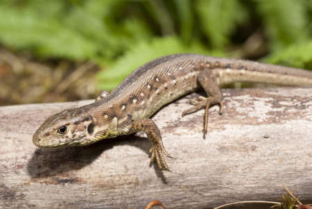viviparous: green- brown lizard on tree in forest Stock Photo