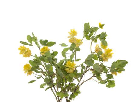 yellow little clover (Trifolium campestre Schreb)  on white Stock Photo - 16916299