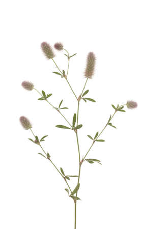 flower clover(Trifolium arvense) on white background Stock Photo - 17141948