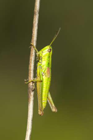 chorthippus: green hopper (Chorthippus parallelus) on  blurred background Stock Photo